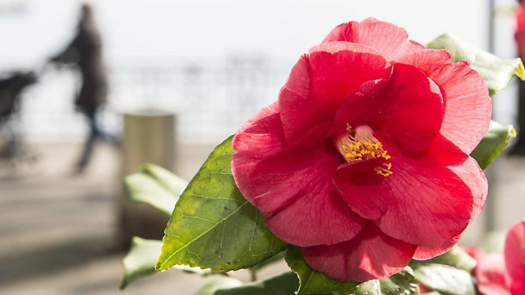 Sobald die erste Frühlingssonne erstrahlt, feiert Locarno die Kamelienblüte. Dieses Jahr ist es bereits am 16. März soweit. (Archivbild).
