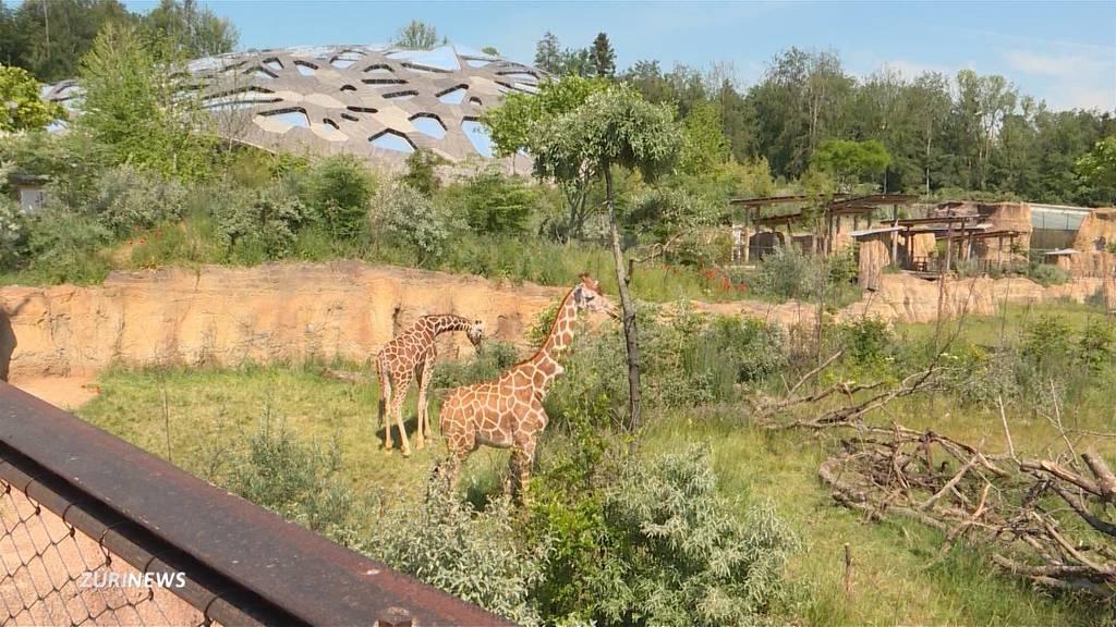 Zürichberg wird zum Safari-Gebiet