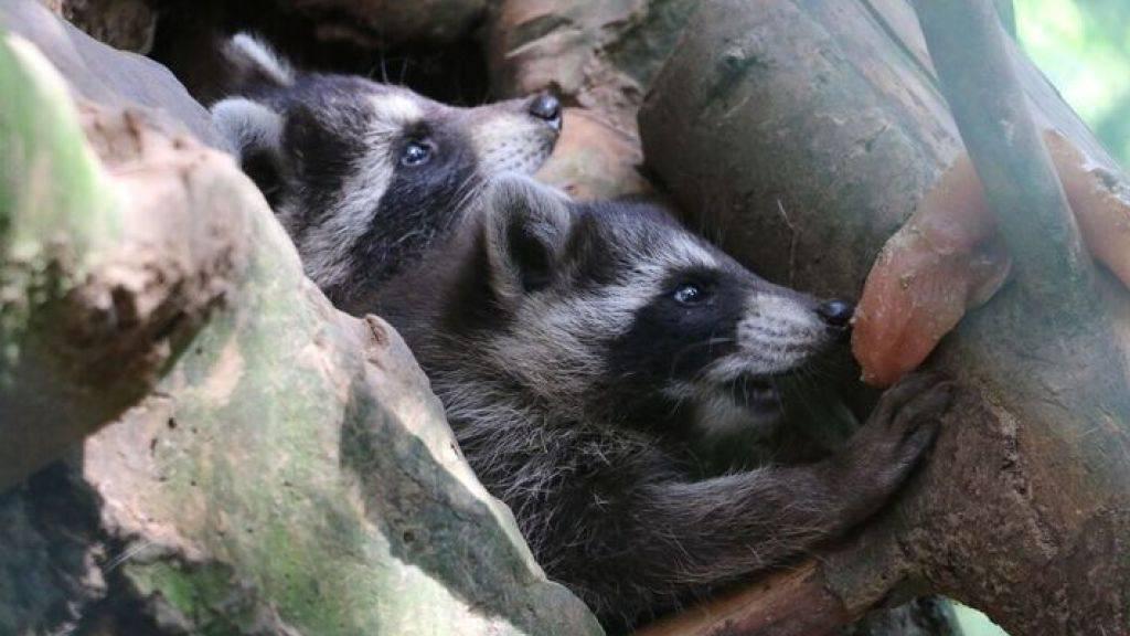 Im Zoo im waadtländischen Servion sind zwei junge Waschbären zur Welt gekommen.