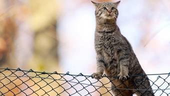 Wildlebende Katzen sind ein Problem. (Symbolbild)