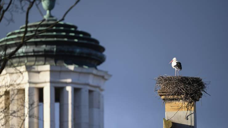 Am Morgen des 4. Februar standen bereits wieder zwei Störche auf dem im Vorjahr erbauten Nest. Zum Zeitpunkt der Aufnahme war einer bereits wieder weg.