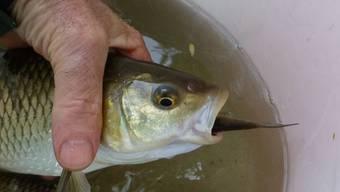 Der kleine Schneider frisst Würmer, der grosse Alet halt kleine Fische.