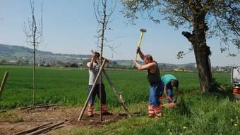 Mitarbeiter des Werkhofs beim Pflanzen er Bäume