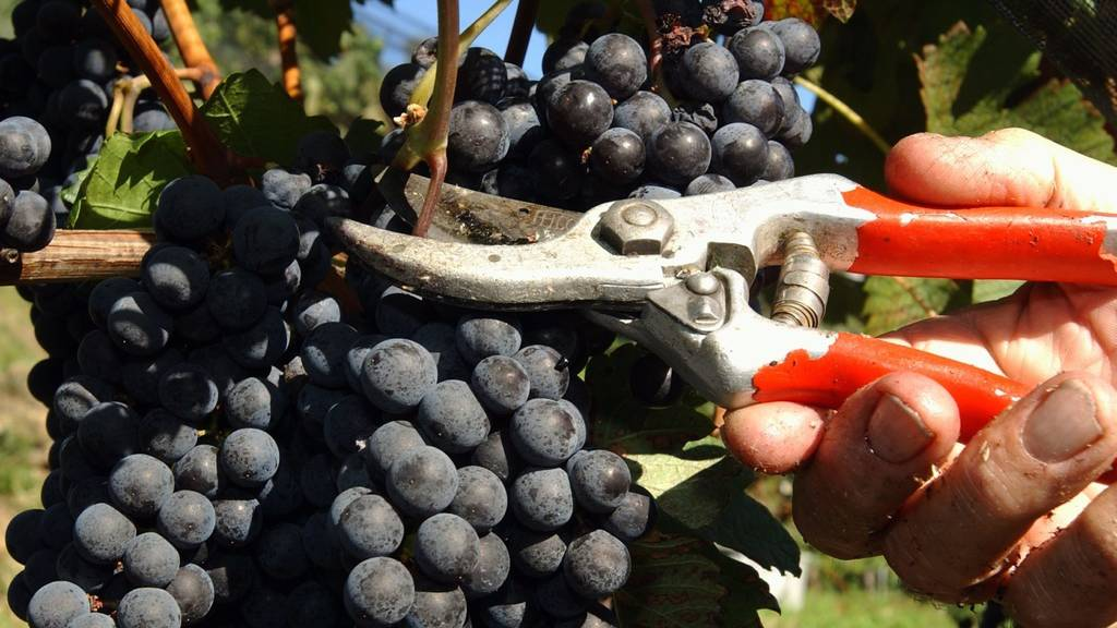 Grösserer administrativer Aufwand: Die unabhängigen Winzer rebellieren gegen die neue Weinverordnung. (Archivbild)