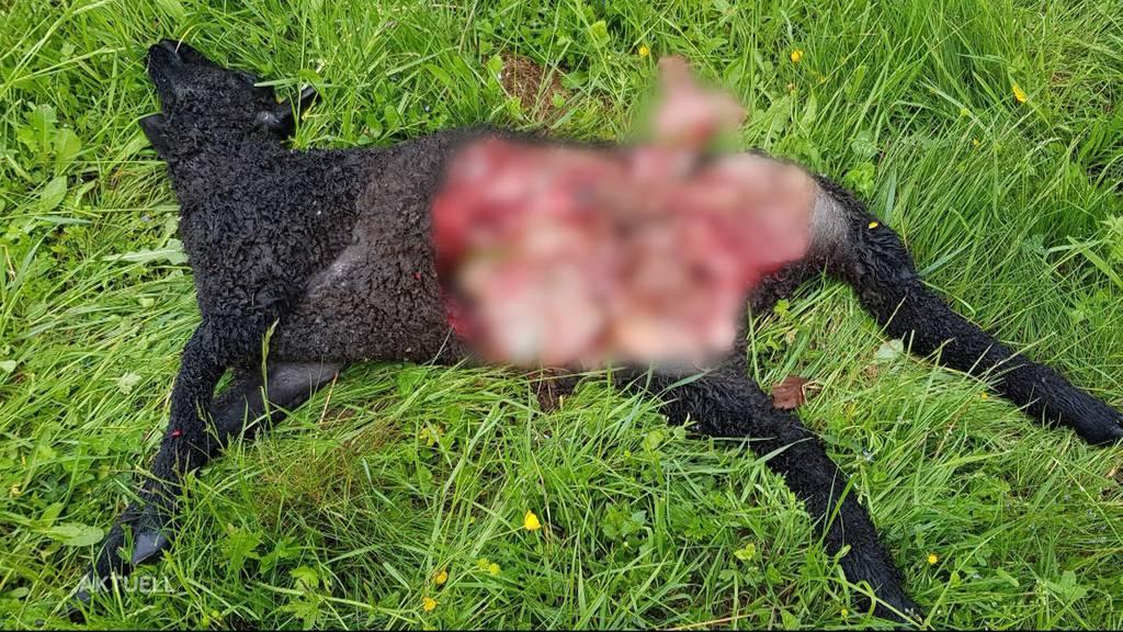 3 Lämmer in Oberhof gerissen: Wolf-Befund kam erst nach 2 Monaten