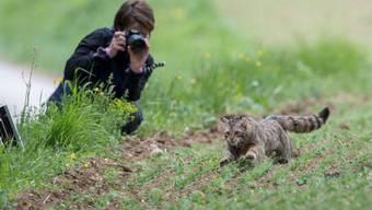 Wieder frei nach mehrmonatiger Pflege: Mit einem GPS-Sender versehen rennt die Wildkatze in den nahe gelegenen Wald.