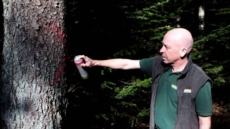 Werner Lutz von der Forstverwaltung Suhr-Buchs-Aarau markiert einen Baum, der vom Borkenkäfer befallen worden ist.
