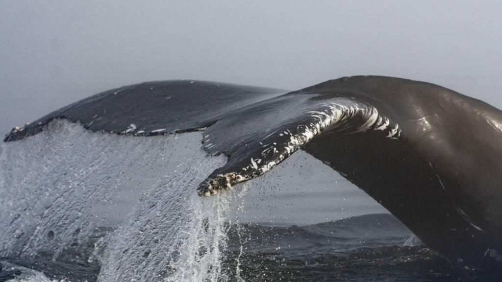 Ein Wal aus dem Nordpazifik ist halb um den Globus geschwommen und vor der Küste Namibias gesichtet worden. (Archivbild)