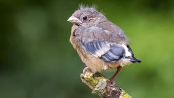 Nur scheinbar alleine: Dieser junge Gimpel wird auch ausserhalb des Nestes weiter von seinen Eltern betreut.