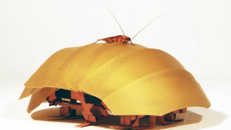 Eine amerikanische Küchenschabe auf dem von ihr inspirierten, flexiblen Roboter.