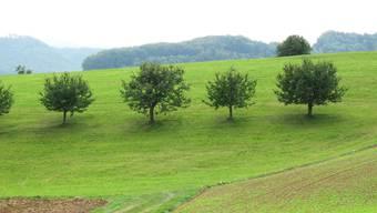 Die Basler Obstbauern können mit einer guten Zwetschgenernte rechnen.
