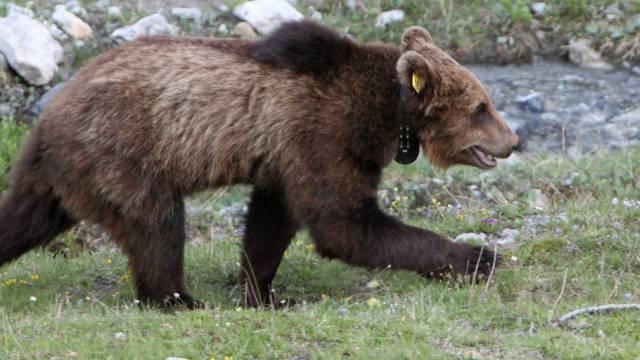 M13 - der Vorgänger des jetzt in Graubünden gesichteten Bären