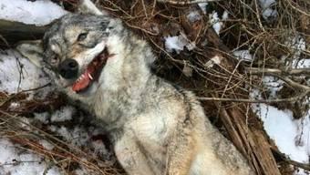 Am 17. Februar entdeckten Spaziergänger in einem Wald bei Mayoux/Anniviers VS den Kadaver einer erwachsenen Wölfin. Das Tier wurde gewildert.