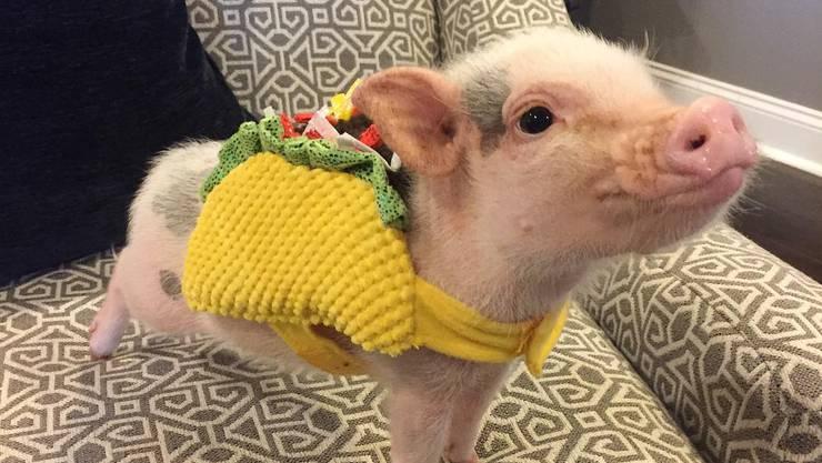 Dank ihrem lustigen und intelligenten Wesen sind Minipigs wie Hank aus New Orleans die neuen Stars unter den Haustieren.