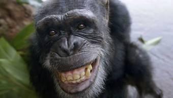 Schimpansen können sich bis zu sieben Arbeitsschritte merken - etwa so viel wie ein Erstklässler. (Archivbild)