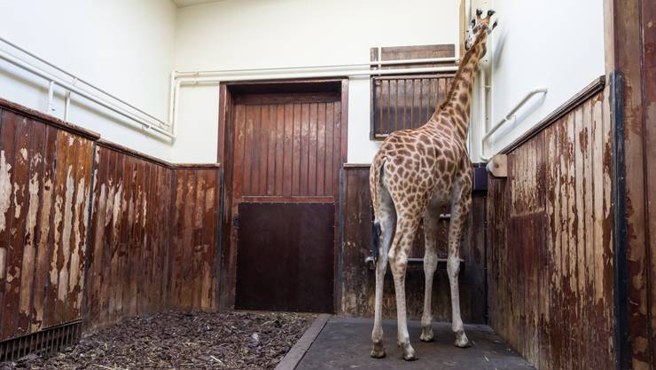 Dank der neuen Waage im Antilopenhaus können Giraffen endlich gewogen werden.