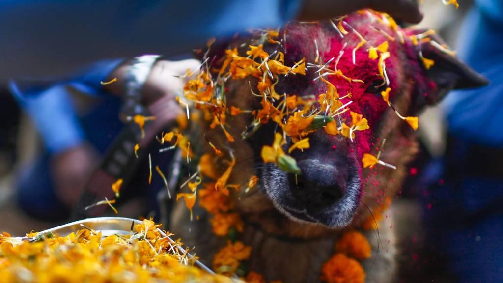 Hunde werden für das Tihar-Fest in Nepal hübsch gemacht