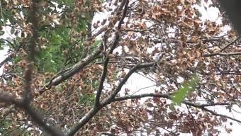 Bäume sehen jetzt bereits aus wie im Herbst und Bäche trocknen aus. Damit sich die Lage entspannen würde, müsste es regelmässig über zwei bis drei Monate regnen, sagen Vertreter des Forstdienstes, der Wasserkraft und der Fischerei des Kantons St.Gallen.
