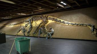 Mit einer Länge von 27,15 Metern und über 200 Knochen ist ''Arapahoe'' einer der grössten bekannten Langhalssaurier.