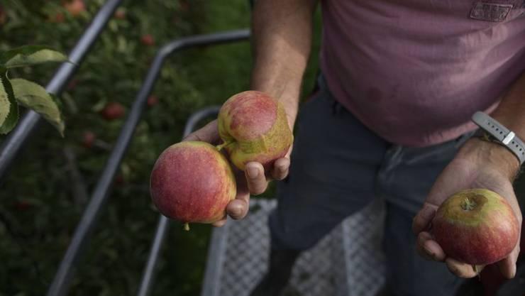 Äpfel der Sorte Jonagold mit Frostschäden bei der Ernte Ende September auf einem Betrieb in Egnach TG. (Archivbild)