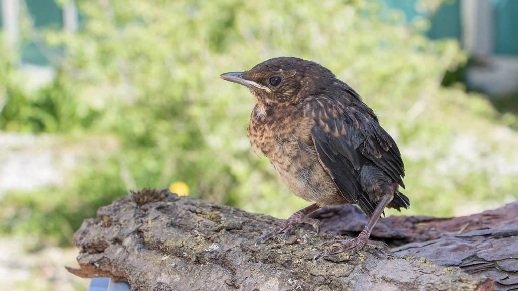Sei ein Held – so rettest du Jungvögel