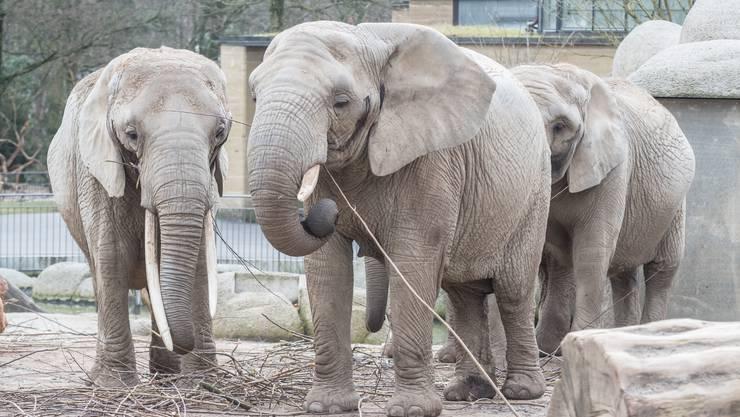 Nach etwas mehr als drei Jahren Bauzeit öffnet der Zoo Basel im März 2017 die neue Elefantenanlage Tembea für das Publikum.