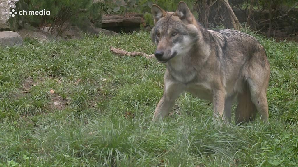 Unerwartet viele Wölfe hausen in der Schweiz