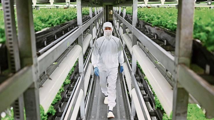 Ein Mitarbeiter kontrolliert Salat in einer Vertical Farm in der japanischen Stadt Kyoto.