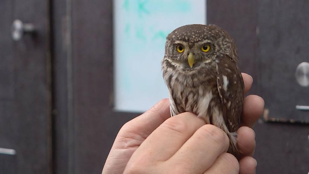 Seltener Patient: Sperlingskauz wird in Greifvogelstation aufgepäppelt
