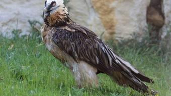 Das Bartgeier-Weibchen soll helfen die einst ausgestorbene Population im Alpenraum wieder aufzubauen. Die Vogelart starb im Alpenraum vor rund 100 Jahren aus. Der letzte Vogel 1913 in Italien erlegt.