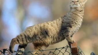 Pro Natura hat die Europäische Wildkatze zum Tier des Jahres 2020 erkoren. (Archivbild)