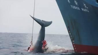 Wie Japan (hier im Bild) will auch Südkorea wieder Wale jagen (Archiv)