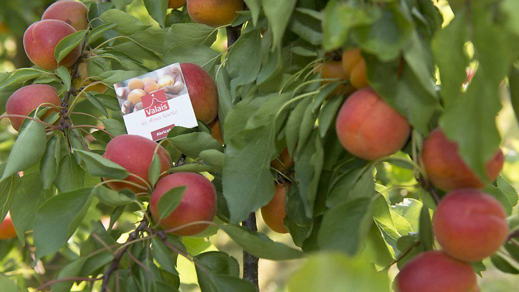 Dank viel Sonne und warmen Temperaturen dürften Walliser Aprikosen in diesem Jahr besonders gut schmecken. (Archiv)