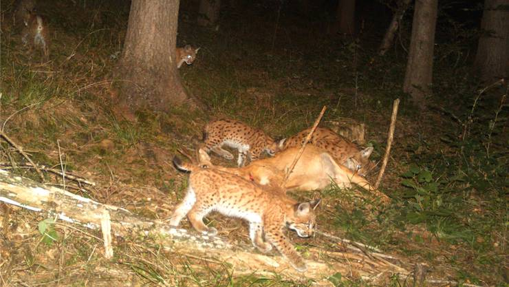 Im Gebiet Bettlachberg lebt eine Luchsmutter (Mitte) mit ihren vier Jungtieren. Die Aufnahme wurde im September geknipst.