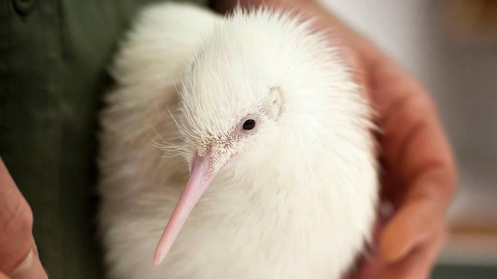 Die extreme Dürre macht den Kiwi-Vögeln zu schaffen
