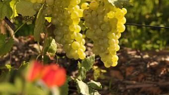 Die Westschweizer Winzer erwarten einen guten Wein-Jahrgang.