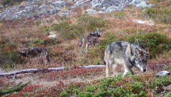 Wildlebende Wölfe (vier Jungtiere, ca. sechs Monate alt) in der Schweiz (Fotofallenaufnahme)