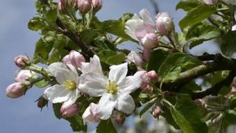 Vom Feuerbrand bedroht: Ein blühender Apfelbaum im Thurgau (Archiv)