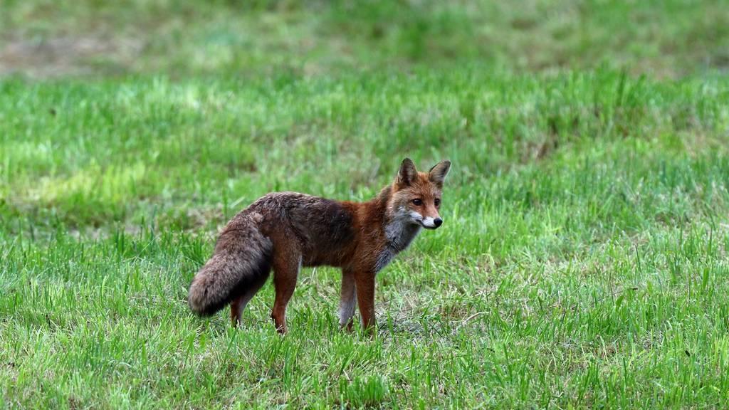 Bei zahlreichen Füchsen in Graubünden wurden Infektionen mit dem Staupevirus nachgewiesen.