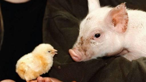 Weniger Schweine, mehr Hühner: Kaum Veränderung