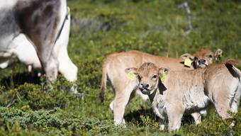 Sollen von der Genetik von Klontieren bewahrt werden: Zwei Kälber mit Muttertier auf einer Alp in Graubünden. (Archiv)