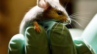 Die Uni Basel setzt rund 30000 Mäuse zu Versuchszwecken ein. (Symbolbild)