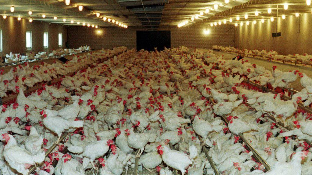 Tierschutz- und Umweltorganisationen haben eine Volksinitiative gegen die Massentierhaltung in der Schweiz lanciert. (Archivbild)