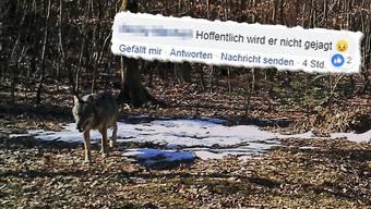 Die Kommunikation, dass im Aargau ein Wolf gesichtet wurde, löste vor allem auf Facebook viele Kommentare aus.