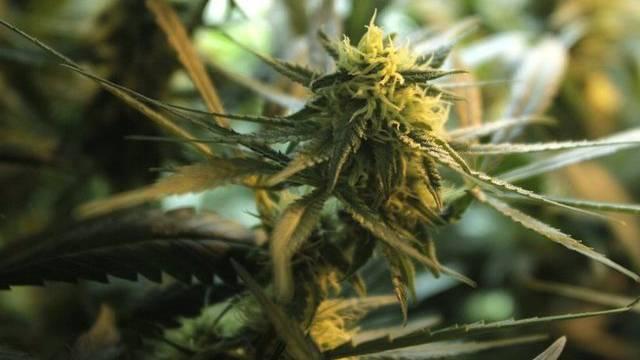 Die Blüte einer Hanfpflanze (Symbolbild)