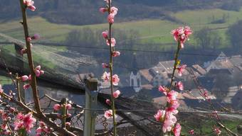 Die  Blüten in den Obstplantagen vertragen Frost schlecht.