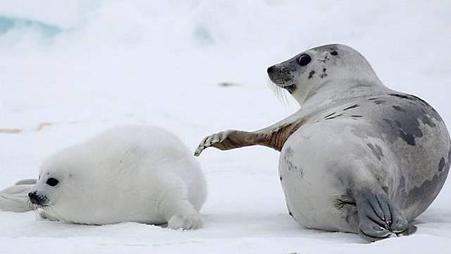 Grünes Licht für Robbenjäger
