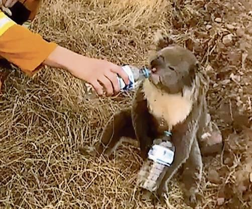 Helfer retteten hunderte Koalas vor dem Feuertod.