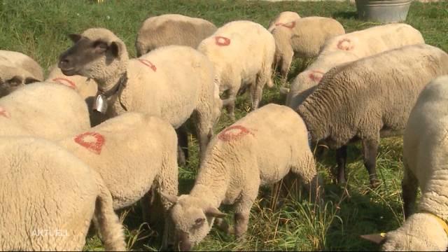 Asylheimbewohner klauen und schlachten Schaf