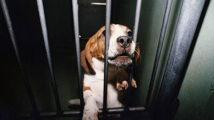 Ausreichend geschützt: Der Bundesrat lehnt die Initiative für ein Verbot von Tierversuchen ab. (Archivbild)